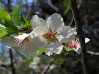 Mandorlo in fiore...  - Palermo (4102 clic)