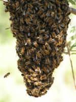 Sciame di api nelle campagne di Caltabellotta  - Caltabellotta (1999 clic)