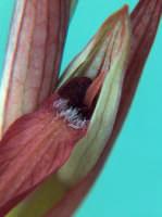 Serapide Un genere di Orchedee dalla forma inconfondibile  - Cava grande del cassibile (5064 clic)
