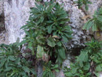 Trachelium lanceolatum Guss. Famiglia : Campanulacee Specie endemica esclusiva della flora iblea Presente nelle cave iblee su rupi calcaree ombreggiate, fiorisce da settembre ad ottobre.    - Iblei (7141 clic)