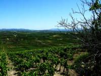 I vigneti dell'agro Marsalese  - Marsala (1588 clic)
