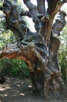 Pianta Mosaica (grande quercia), sughereta di Niscemi  - Niscemi (9670 clic)