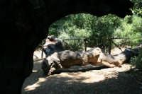 Sughereta di Niscemi, ramo spezzato della nostra grande quercia (pianta mosaica)  - Niscemi (9145 clic)