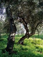 Alberi d'ulivo  - Misterbianco (4672 clic)