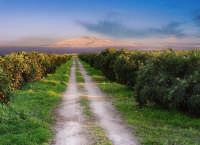 Giardini d'arance con l'Etna sullo sfondo  - Sferro (7593 clic)