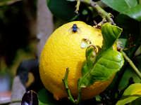 Agrumi:Limone  - Agnone bagni (4941 clic)