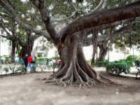 Ficus.  - Siracusa (3440 clic)