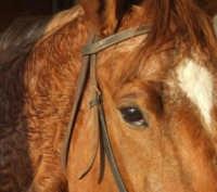 particolare di cavallo  - Alia (2987 clic)