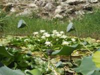 orto botanico di palermo:ninfee PALERMO Carmelinda Mandina