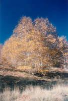 betulla , sull'Etna è localizzata nei pressi dei monti Sartori che si trovano vicino il rifugio Citelli , salendo da Fornazzo ,il periodo è tra metà novembre ed i primi di Dicembre  - Etna (3366 clic)