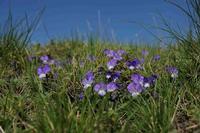 le violette di maggio violette etnee sul sentiero della schiena dell'asino  - Etna (3342 clic)