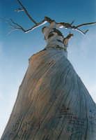 il pino sulla tomba di Luigi Pirandello  - Agrigento (8302 clic)