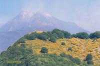 La ginestra dell'Etna  - Zafferana etnea (3793 clic)