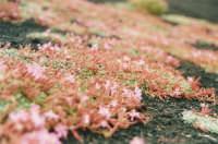 saponaria sicula , particolare  - Etna (2074 clic)