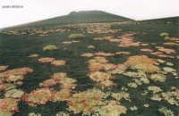 saponaria sicula   - Etna (2084 clic)