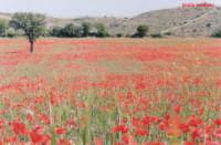 campo di papaveri  - Palazzolo acreide (4244 clic)