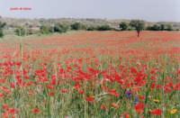 campo di papaveri: primavera siciliana  - Palazzolo acreide (8766 clic)
