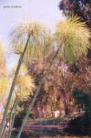 Papiro spontaneo sul Ciane  - Siracusa (2006 clic)
