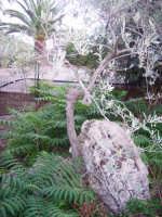 ulivo nato tra la roccia  - Misilmeri (4120 clic)