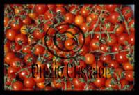 pomodori ciliegino  - Pachino (7066 clic)