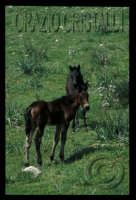 tipici cavalli san fratellani   - San fratello (6540 clic)