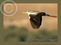 airone cinerino  - Paternò (3019 clic)