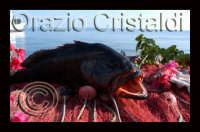 cernia  - Alicudi (6196 clic)