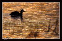 fiume simeto - folaga  - Simeto (4873 clic)