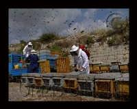 preparazione delle arni per l'estazione dei telai di miele  - Sortino (4901 clic)