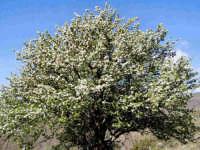 Spettacolare Perastro in fiore.  - Francavilla di sicilia (9808 clic)