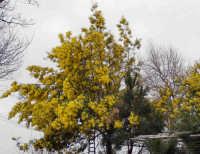 Albero di mimosa nelle campagne di Ficarra (12345 clic)