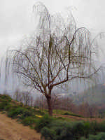 Albero di salice piangente nelle campagne di Ficarra  - Ficarra (11593 clic)