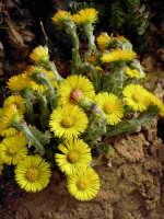 Flora caratteristica delle zone dei Nebrodi.  - Caronia (5028 clic)