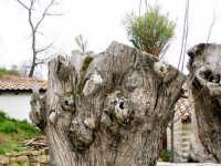 Particolare di un tronco di ulivo  - Ficarra (6601 clic)