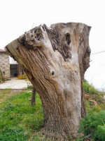 Particolare di un tronco di ulivo  - Ficarra (6501 clic)