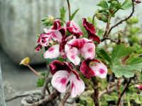 Caratteristica flora, geranio, delle zone mediterranee.  - Antillo (3952 clic)
