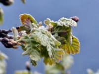 Particolare della fioritura di essenza quercina.  - Antillo (4341 clic)