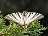 Farfalla  - Naso (4266 clic)