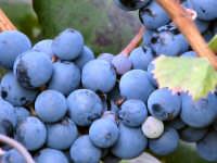 Particolare tralcio d'uva.  - Caronia (4024 clic)