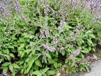 Pianta aromatica Salvia  - Fondachelli fantina (5559 clic)