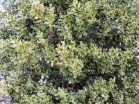 Particolare di arbusto di Agrifoglio.  - Galati mamertino (5333 clic)