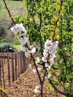 Particolare di Ciliegio in fiore.  - Brolo (5822 clic)