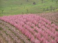 Particolare di Pescheto in fiore.  - Cesarò (7651 clic)