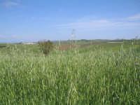 Le meravigliose colline in primavera   - Canicattì (4374 clic)