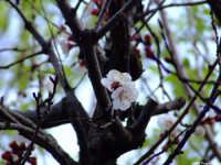 Fiore di Albicocco   - Mascalucia (1598 clic)