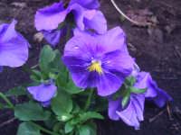 Violette   - Mascalucia (1914 clic)