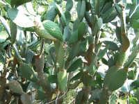 Pianta di Ficodindia  - Piraino (3567 clic)