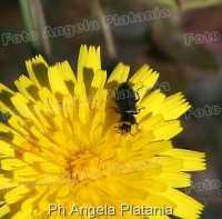 insetto sulla margherita  - Fiumefreddo di sicilia (3737 clic)