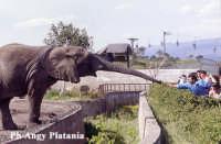Parco Zoo di Sicilia - Etnaland - Elefante  - Paternò (22045 clic)