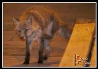 etna mon amour Etna mon amour -La volpe paziente.... attende che chiude il bar... per mangiare le rimanenze... sempre furbe - Ph Angela Platania  - Nicolosi (2001 clic)